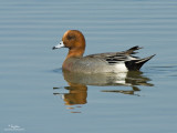 A male Eurasian Wigeon at Candaba wetlands