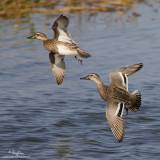 Garganey (female)   Scientific name - Anas querquedula   Habitat - Fresh water marshes and shallow lakes.   [1DM2 + 500 f4 L IS + Canon 1.4x TC, tripod/gimbal head]