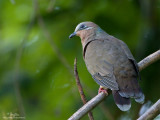 White-eared Brown-dove  (a Philippine endemic)   Scientific name - Phapitreron leucotis   Habitat - Common in a wide range, from second growth to montane forest to 1600 m.   [20D + 500 f4 IS + Canon 1.4x TC, bean bag]