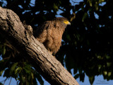 Philippine Serpent-Eagle  (a Philippine endemic)   Scientific name - Spilornis holospilus   Habitat - Forest from lowlands to over 2000 m.   [20D + 500 f4 L IS+ Canon 1.4x TC + Tamron 1.4x TC, 1000 mm, f/11, bean bag]