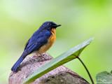 40D gets close to a  Mangrove Blue Flycatcher