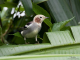 Chestnut-cheeked Starling at UP-Diliman!
