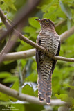 Brush Cuckoo (immature)   Scientific name - Cacomantis variolosus sepulcralis   Habitat - Coastal mangrove to montane mossy forest.   [40D + 500 f4 L IS + Canon 1.4x TC, Manfrotto 475B tripod/3421 gimbal head]