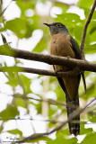 Brush Cuckoo (adult)   Scientific name - Cacomantis variolosus sepulcralis   Habitat - Coastal mangrove to montane mossy forest.   [40D + 500 f4 L IS + Canon 1.4x TC, Manfrotto 475B tripod/3421 gimbal head]