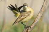 Yellow Wagtaill