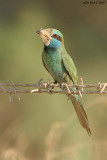 Little Green Bee-eater - Merops orientalis