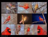 cardinals 1.jpg