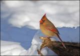 cardinal 1.jpg