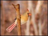 cardinal4.jpg