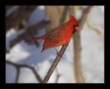 cardinal9.jpg