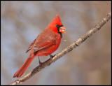 cardinal 10.jpg