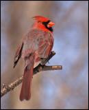 cardinal14.jpg