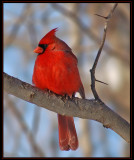 cardinal17.jpg