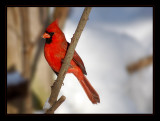 cardinal18.jpg