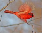 cardinal19.jpg