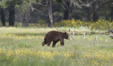 Black bear in prairie