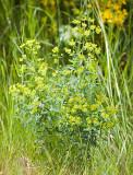 Euphorbia esula  Leafy spurge
