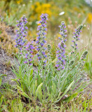 Blue weed  Echium vulgare