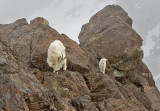 Mountain goat, Mt. Ellinor)