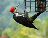 PILLIATED WOODPECKER (PP IN PHOTOSHOP ELEMENTS 5.0 AND NOISE NINJA)