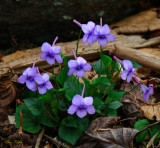 Long Spurred Violet - Viola rostrata