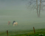 Horses and Fog - Cades Cove