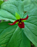 The Trouble with Purple Nodding Trillium