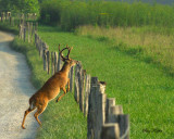 Large Buck Jumping Fence Line