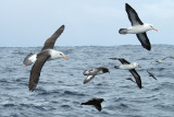 Pelagic Birds from the South Atlantic