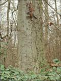 Arbre remarquable - Bois du Laerbeek.