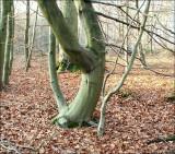 Arbre danseuse, Forêt de Soignes.