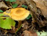 Pholiata.JPG