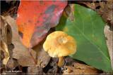 Yellow Collybia.JPG