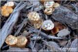 Birds Nest Fungi.jpg