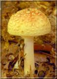 YellowBlusher263.JPG