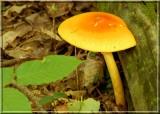 YelloworangeAmanita359.JPG