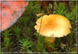 ChestnutBolete13.jpg