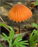 OrangePinwheelMarasmius130.jpg