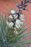 Yucca in Bloom at Horseshoe Bend, April 2013
