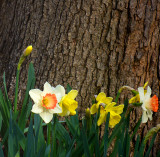 Daffodils And Tree
