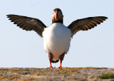 Wingspread Puffin 4231