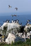 Puffin Flock 4254