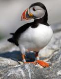 Machias Seal Island Birds