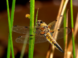Four Spotted Libellula 1