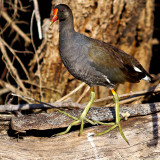 Common Moorhen (Gallinula chloropus) 2