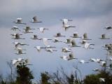Snowy Egrets Flying