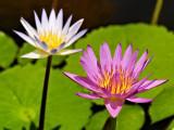 Cayman Lillies