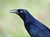 Greater Antillean Grackle (Quiscalus niger caymanensis) 2