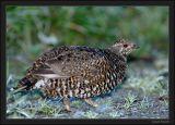 Tétras du Canada (femelle)