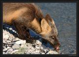 Renard roux (Vulpus vulpes)